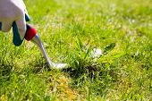 image of weed  - Using a weed pulling tool to remove a weed from the lawn by hand - JPG