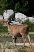 picture of eland  - Common Eland in the gardens of the zoo in Lyon - JPG