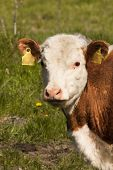 pic of calves  - a close up of a hereford calf - JPG