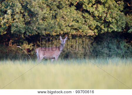 Hind (deer) Grazing