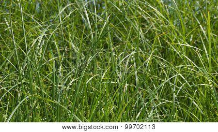 Green Grass Of A Sedge