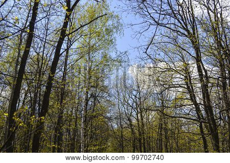 Single Silver Birch In The Maple Forest In Spring
