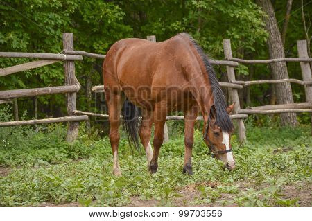 Single Brown Horse On The Meadow With A Green Grass