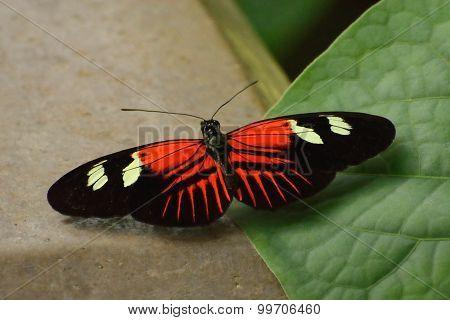 Heliconius erato lativitta butterfly