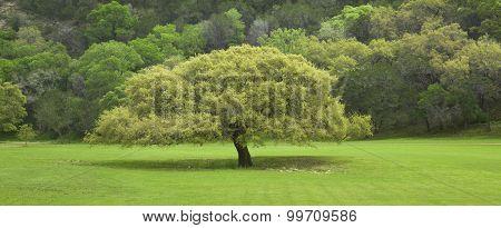 Texas Live Oak Tree In Springtime