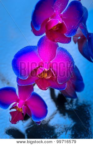Duo Color Orchid