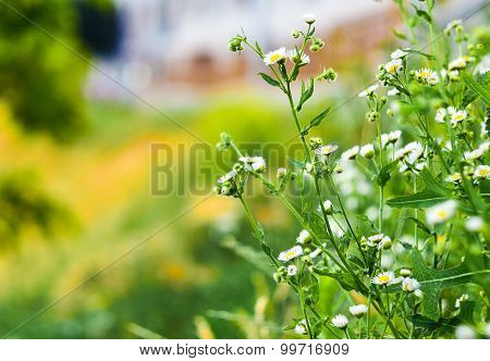 Little White Wildflowers With Copy Space