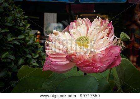 Blossom Lotus Flower , Lotus Seed And Lotus Leaf