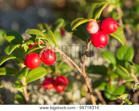 Bush Of Ripe Lingonberry