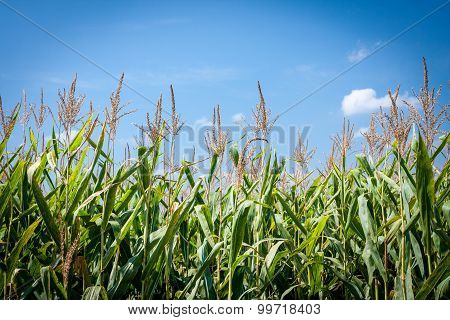 Cornstalks from a Low Angle