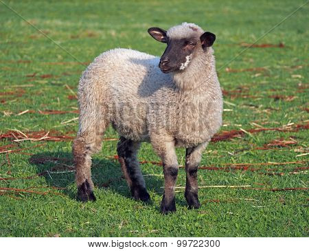 Suffolk sheep on a pasture