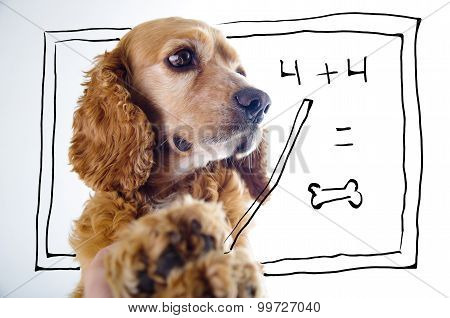 Cute English Cocker Spaniel puppy in front of a white background teaching math with blackboard sketc