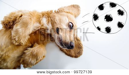 Cute English Cocker Spaniel puppy in front of a white background playing with football sketch