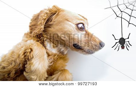 Cute English Cocker Spaniel puppy looking scared in front of a white background with spider and web