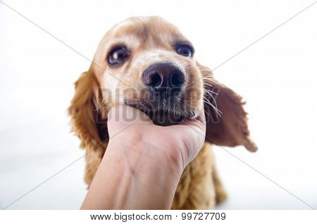 Cute sleepy relaxing English Cocker Spaniel puppy in front of a white background with hand scratchin