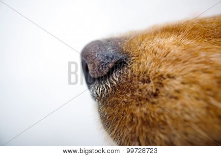 Cute English Cocker Spaniel puppy in front of a white background nose closeup