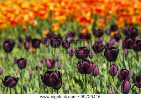 background field flower bed of blooming dark purple and bright orange tulips on the flower festival