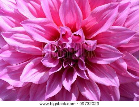Close-up beautiful floral white and pink Dahlia flower abstract background