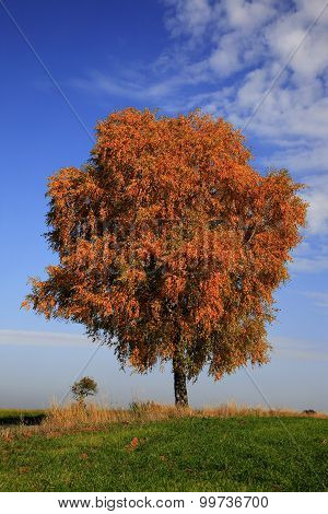 Lonely Birch Tree, Betula,  In Autumn Colors