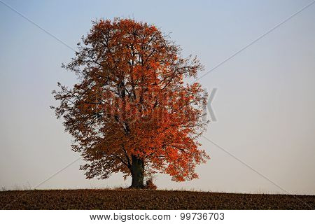 Lonely Lime Tree, Tilia, In Autumn Colors