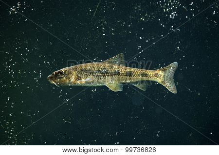 Gudgeon (Gobio gobio). Wildlife animal.