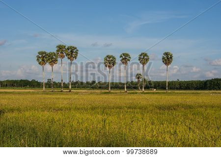 Rice Fields And Plam Trees