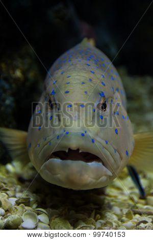 Blue Spotted Grouper In Marine Aquarium.