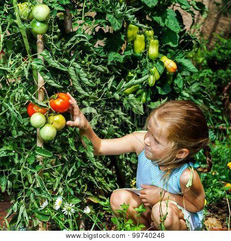 Little Girl Helping Her Mother With Tomato In The Garden