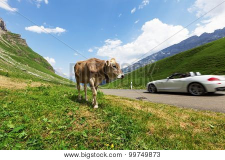 Cows grazing in a typical Alpine landscape