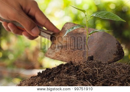 Farmer's Hand Holding Shovel At  Young Plant