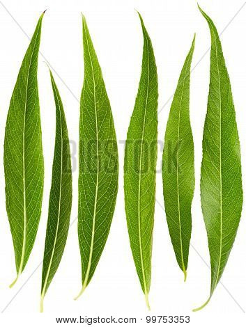 Set Of Willow Leaves
