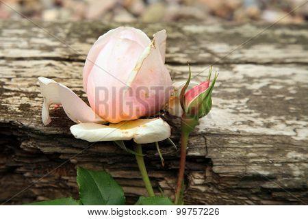 Pink rose Heritage