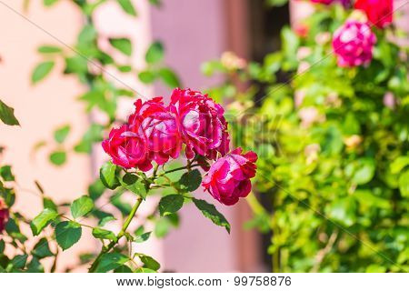 Red Roses Flowers Blooming