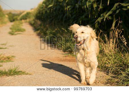 Golden Retriever Walking Along Gravel Road