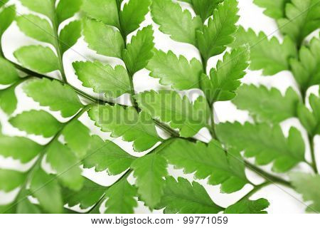 Green leaves, closeup