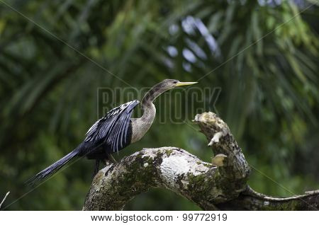 Darter Or Snakebird, Anhinga, Wildlife In Costa Rica