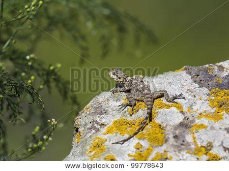 Lizard Basking In The Sun