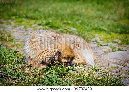 Pekingese Dog On A Grass