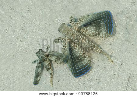 Pair Of Flying Gurnards Resting On A Sandy Bottom - Bonaire