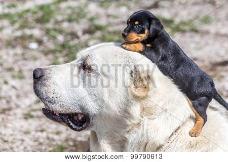 big dog and terrier puppy