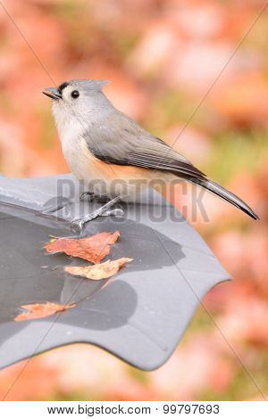 Cute Tufted Titmouse bird on birdbath in autumn