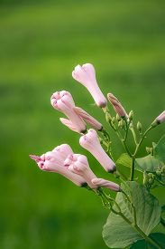 picture of ipomoea  - Morning glory bud of Morning Glory Tree or Ipomoea Carnea Jacq on a green background - JPG