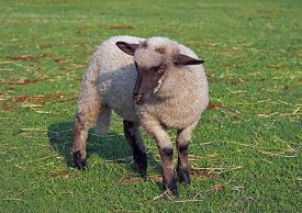 foto of suffolk sheep  - Young suffolk sheep on a green pasture - JPG