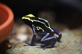 foto of poison arrow frog  - Dyeing dart frog  - JPG