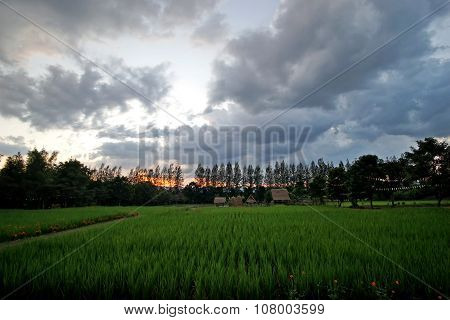 Rice In Paddy Field