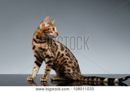 Bengal Kitty Sits And Looking Back On Dark