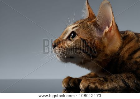 Closeup Portrait Of Bengal Kitty At Profile View On Dark