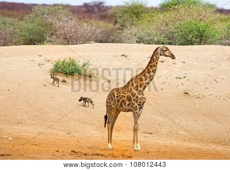 A giraffe standing on the plains with wild dogs in the background