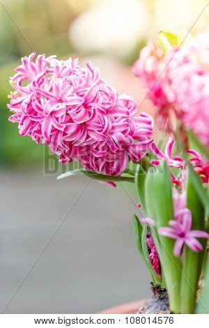 Close Up Shot Of Fresh Pink Hyacinth Flowers