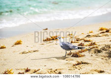 Sea Gull Is Walking On The Sea Beach